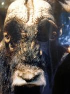 Moschusochse, auf der Musk Ox Farm in Palmer, Alaska