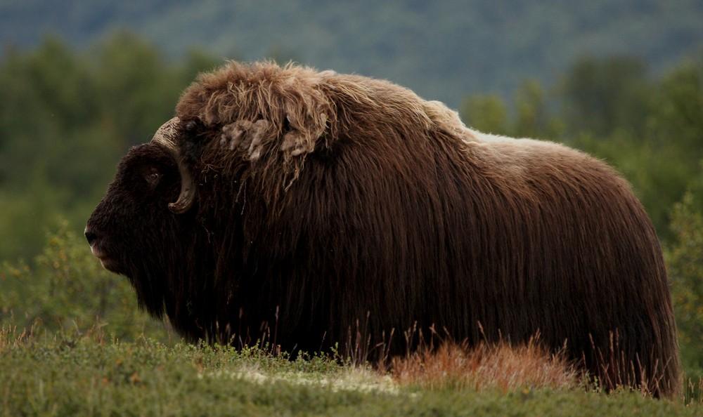 Moschusochsenbulle