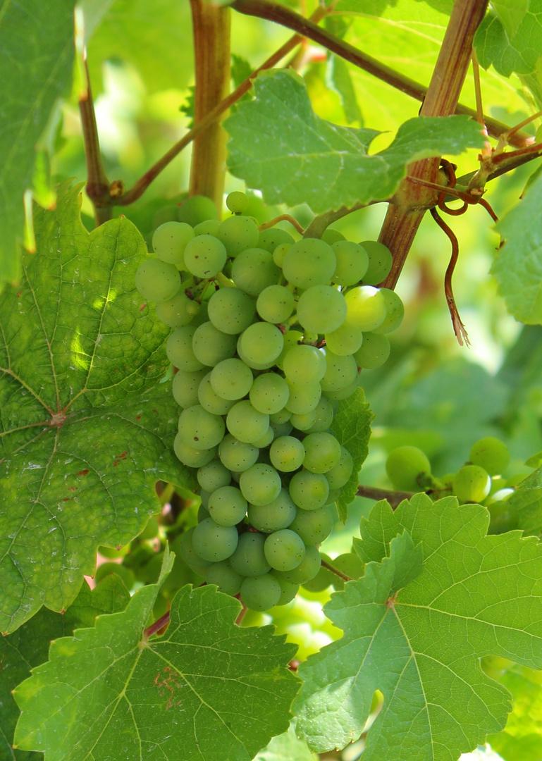 Mosel Rebsorte - Riesling ( Weintraube )