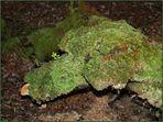 Mossy Dog