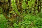Mossy Maple Grove II