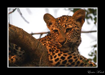 Mostra online di Enrico Maioli: La mia Africa - 3. Leopardo al tramonto