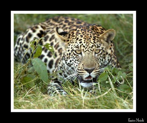 Mostra online di Enrico Maioli: La mia Africa - 4. Leopardo