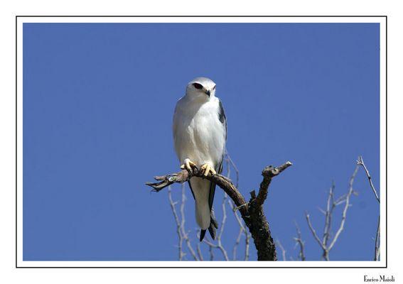 Mostra online di Enrico Maioli: La mia Africa - 8. Nibio bianco - Elanus caeruleus