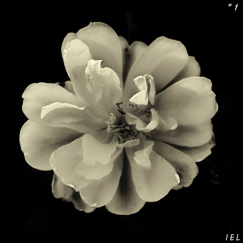 "Mostra online di Irene Ester Leo - ""Essence de Rose"" - 1."