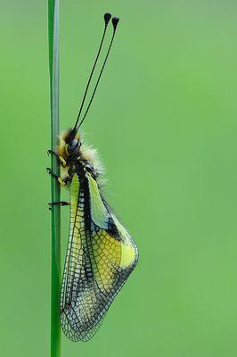 "Mostra online di Marco Lascialfari ""Macronatura"" - 6. Ascalaphidae libelloides"