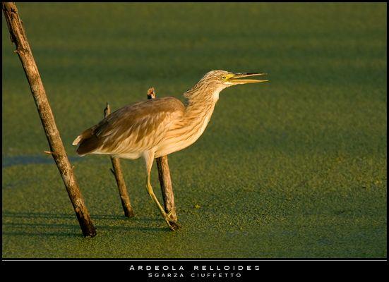 "Mostra online di Paola Tarozzi: ""Birds"" - 8. Dorata"