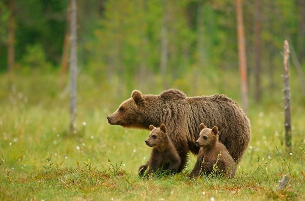 Mother with cubs