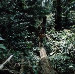 Motivsuche in Borneo - Waldläufer in Kalimantan Timur