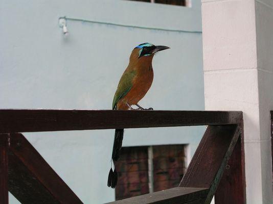 Motmot - Birds of Tobago