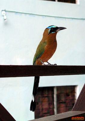 Motmot - Birds of Tobago update