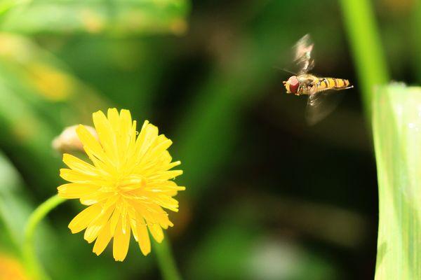 Mouche à miel.