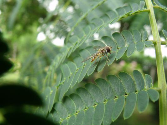 mouche abeille