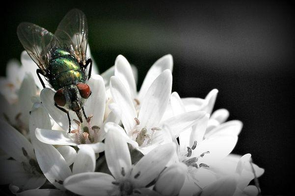 mouche affairée
