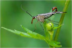 Mouche scorpion (Panorpa communis mâle )