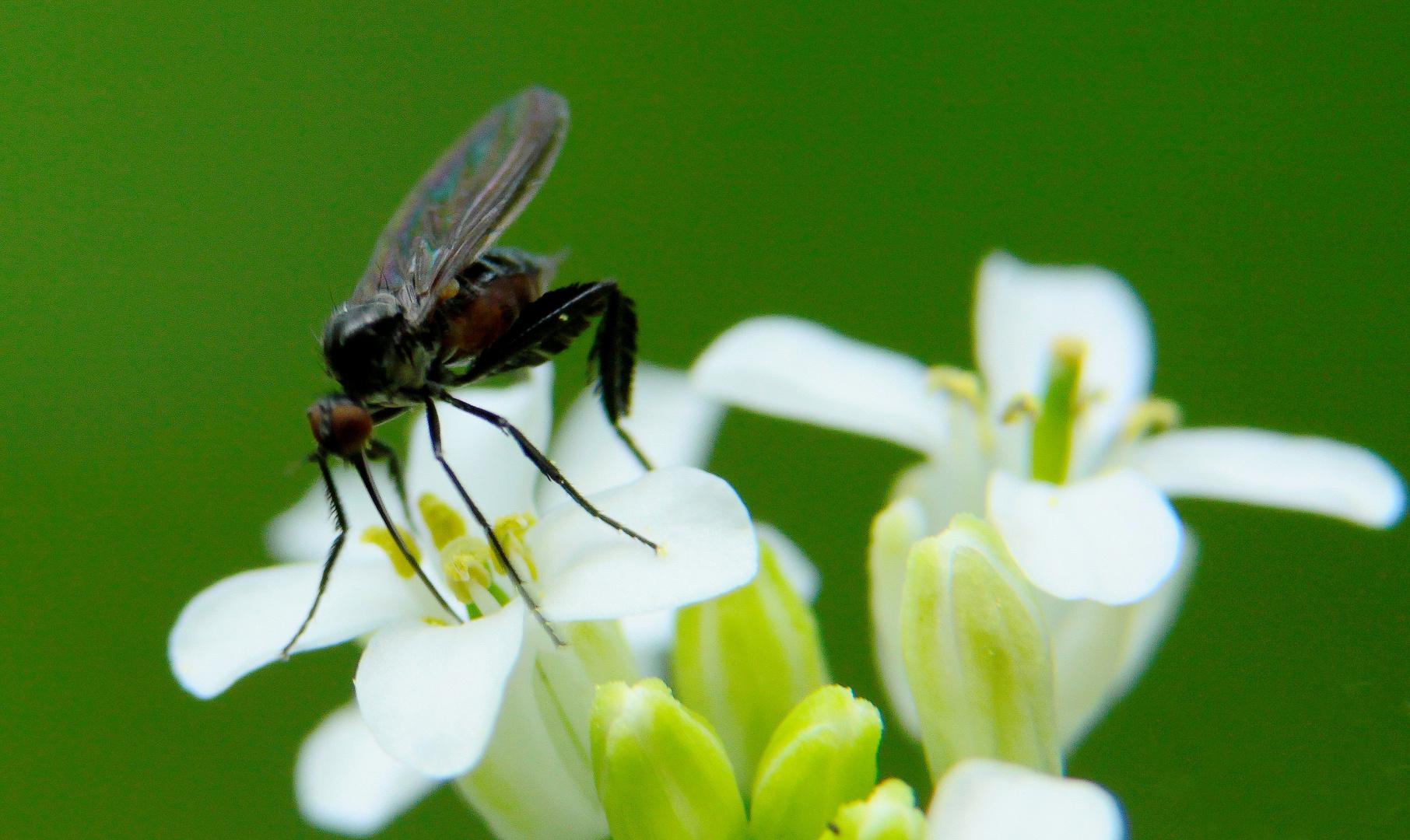 mouchette sur fleurette