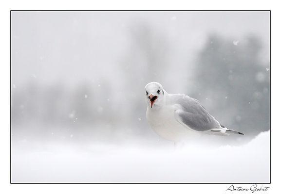 Mouette rieuse sous la neige
