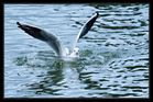 mouette sur son nid d'eau