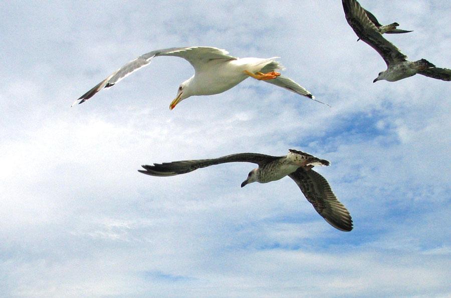 Mouettes et cormorants