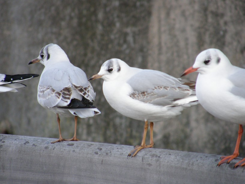 Mouettes frileuses