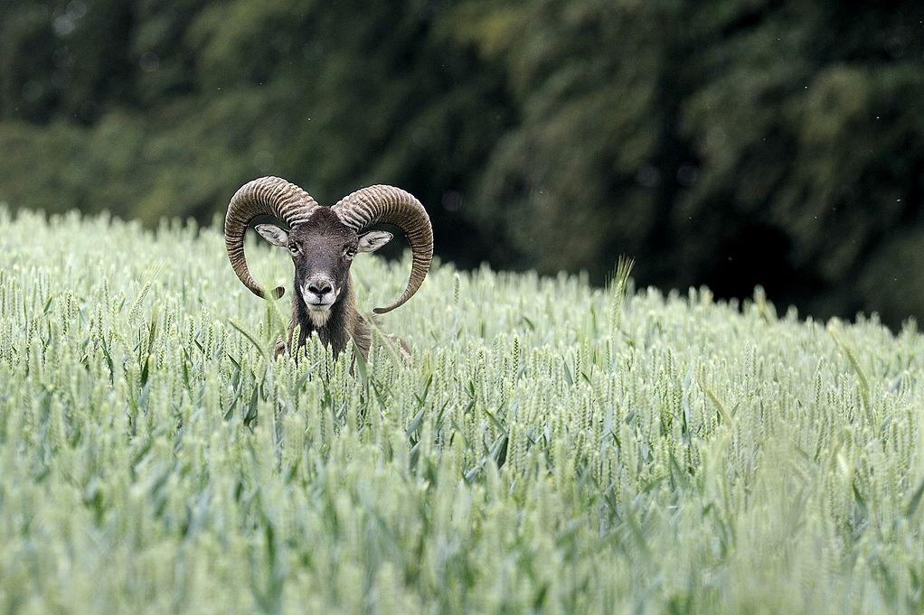 Mouflon-Widder