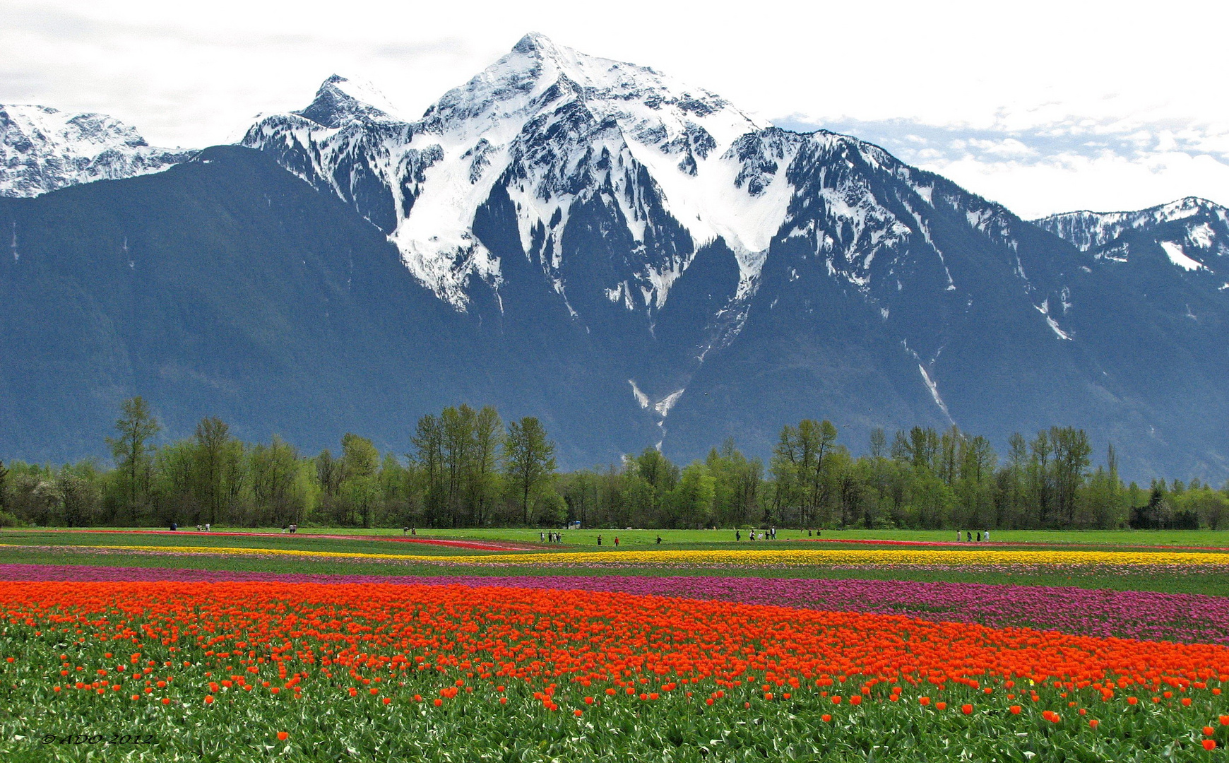 "Mount ""Cheam"" and the Tulips"