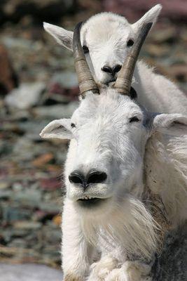 Mountain Goat I, Glacier N.P.