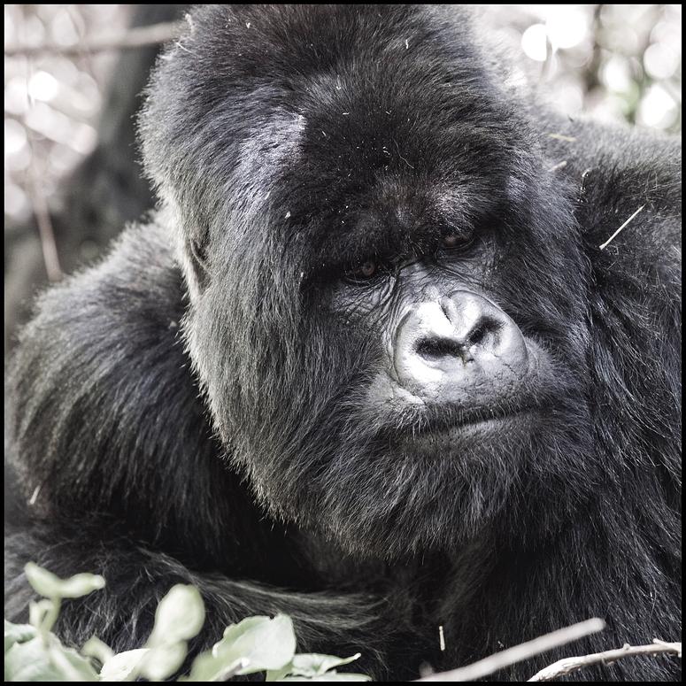 [ Mountain Gorilla ]