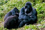 [ Mountain Gorilla Family ]