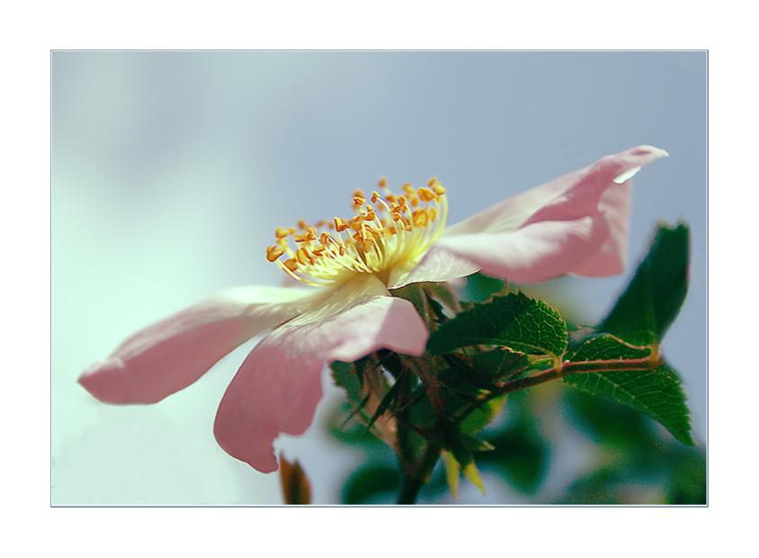 mountain rose
