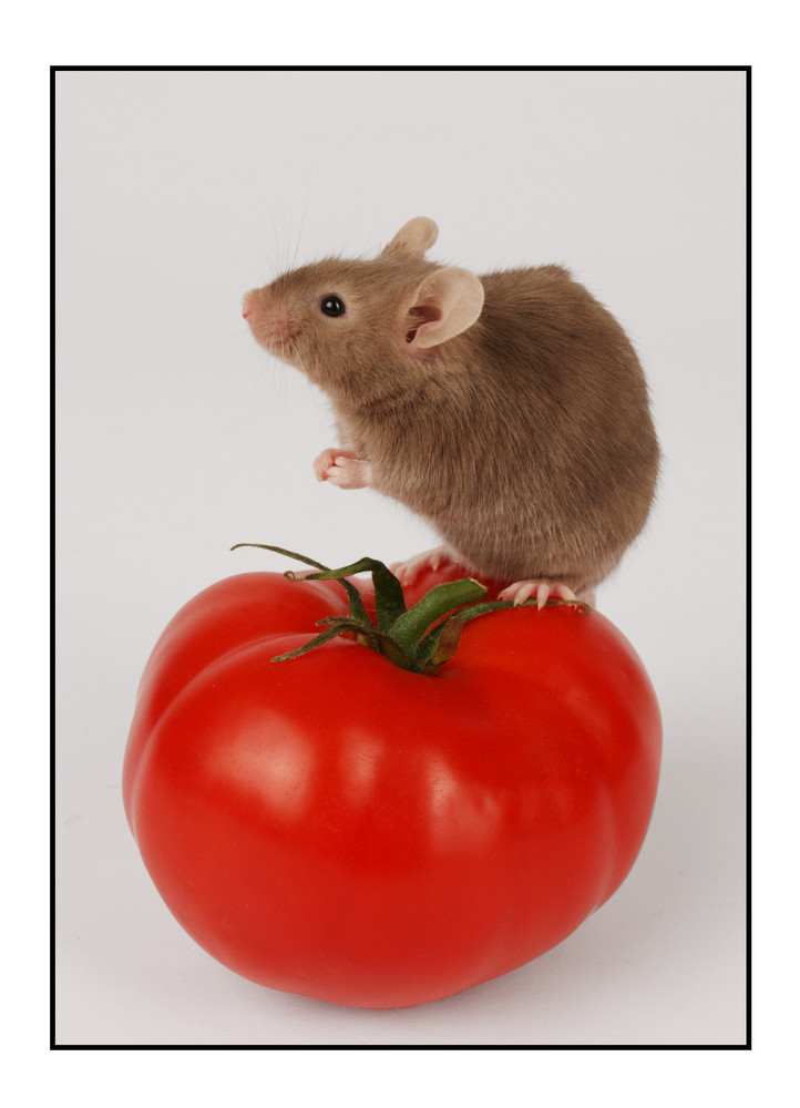 Mouse 'n' Tomato Second Shot
