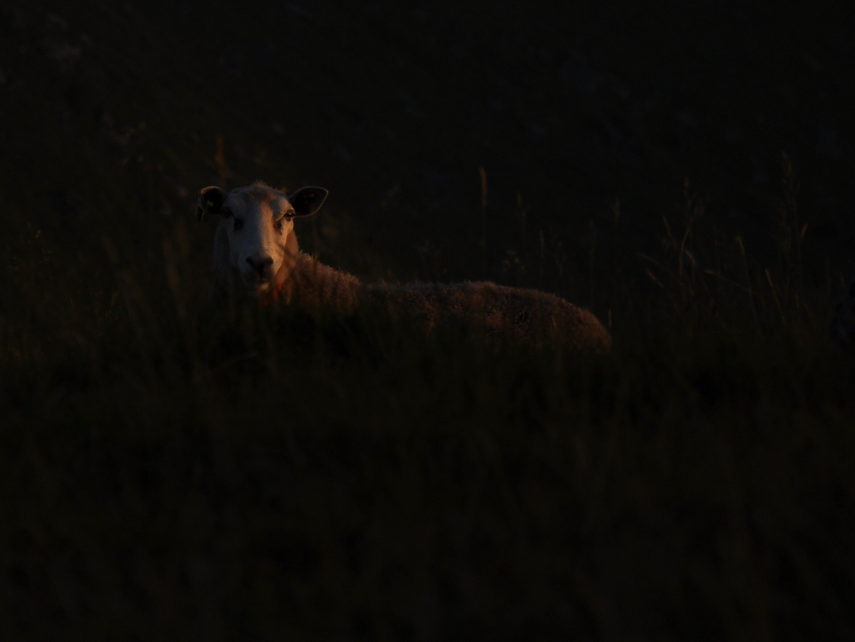 Mouton dans la nuit