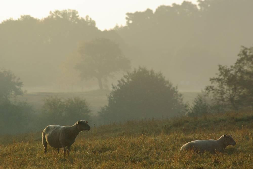 mouton de Gresswiller