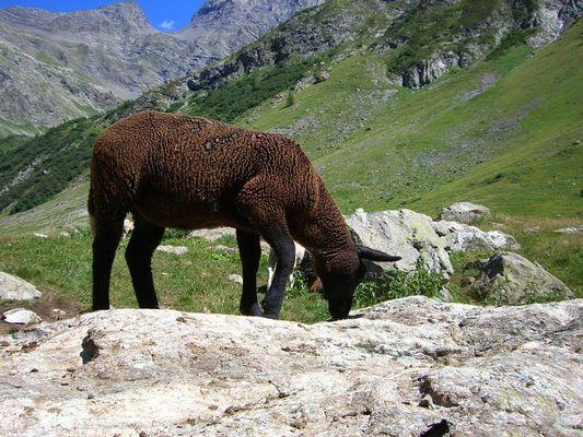 Mouton pré de la Chaumette