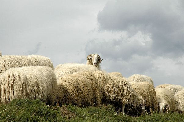 moutonneux