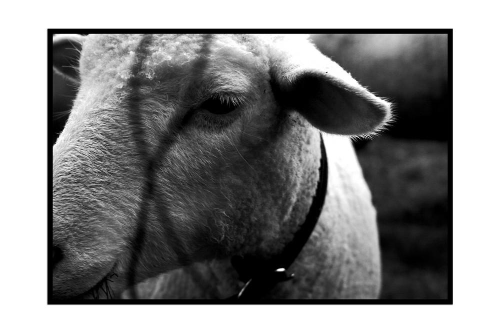 Moutons à l'ombre de la barrière.