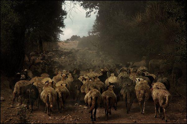 Moutons corses