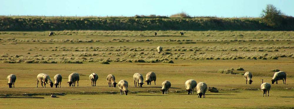 Moutons de pré-salé en baie du Mont Saint-Michel