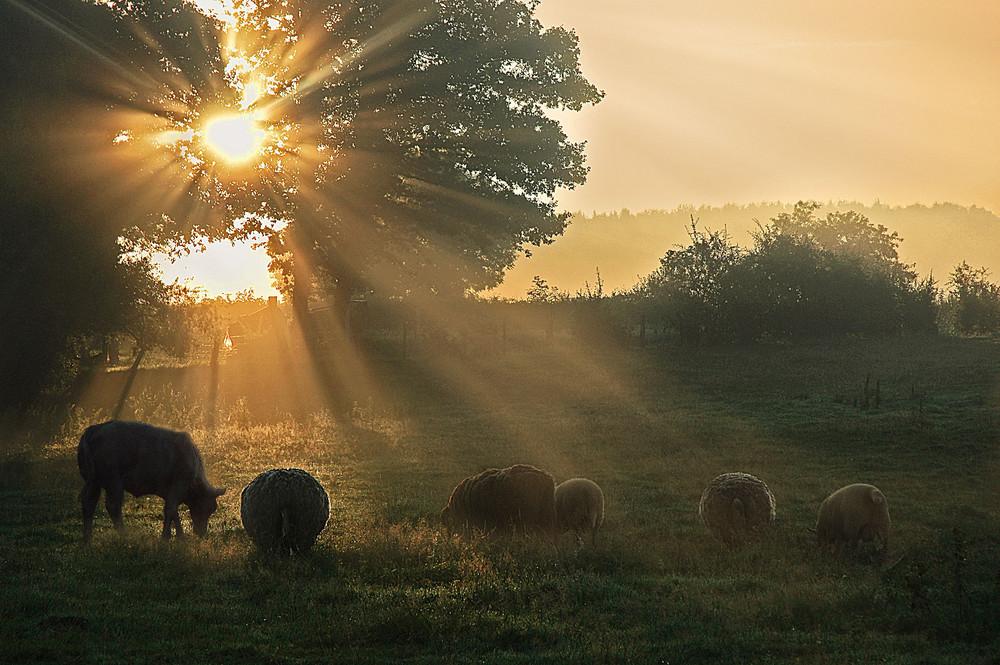 Moutons en contre-jour.