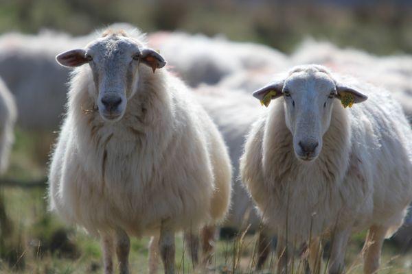 Moutons Montagne au Pays Basque