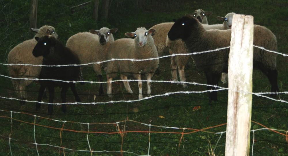 """Moutons """"téléphone maison"""""""