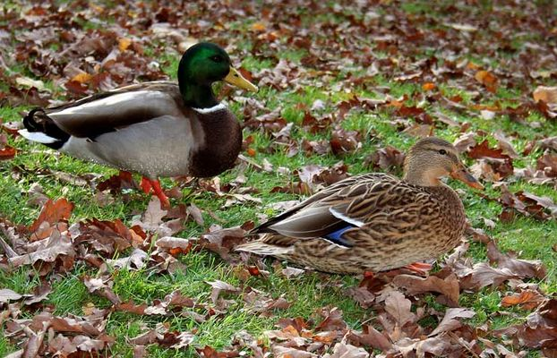 Mr. and Mrs. Duck
