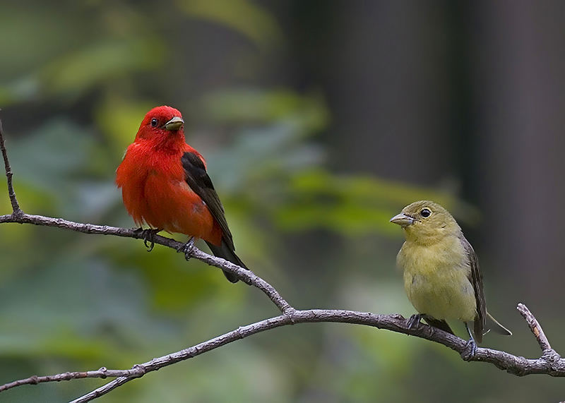 Mr and Mrs Scarlet Tanager