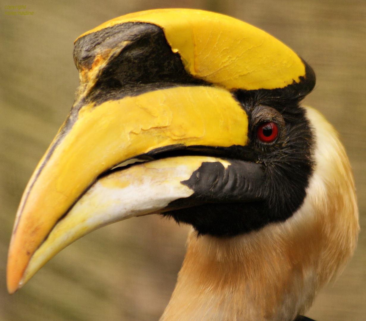 MR Doppelhornvogel