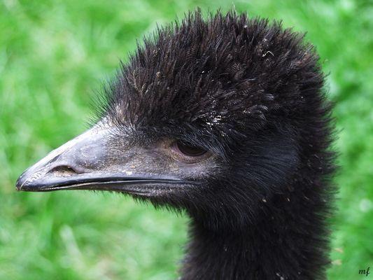 Mr. Emu Junior