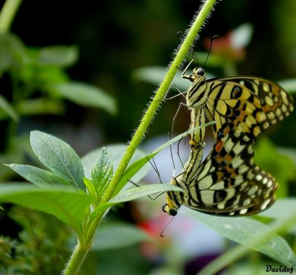 Mr et Mme Papillon !