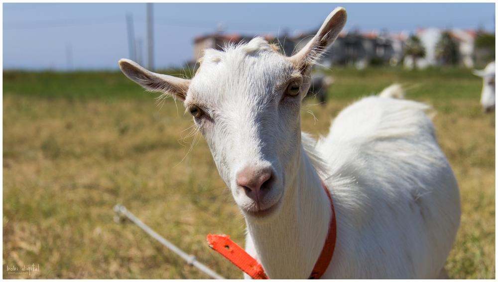 ..:: mr. goat ::..