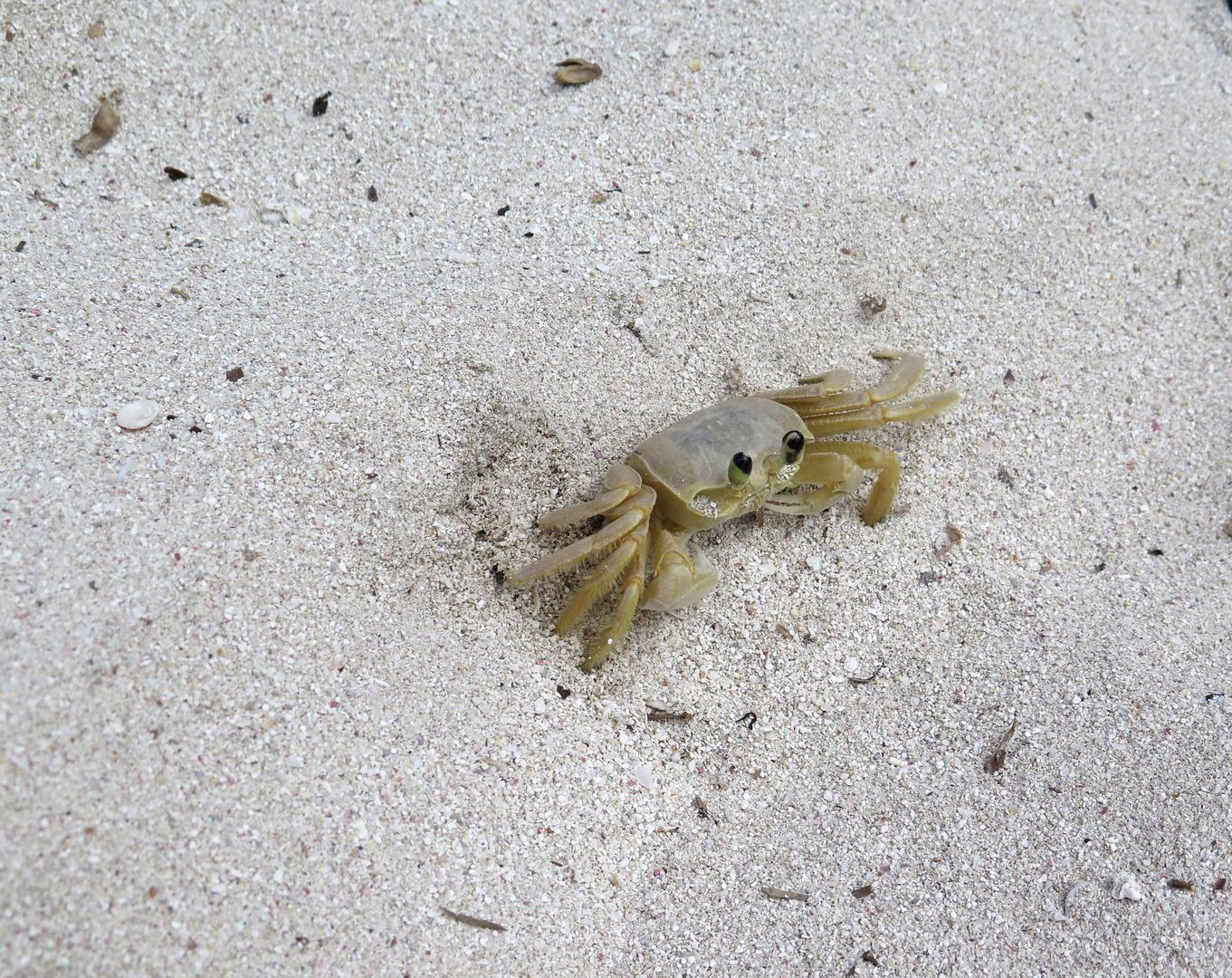 Mr. Krabs auf der Insel Saona