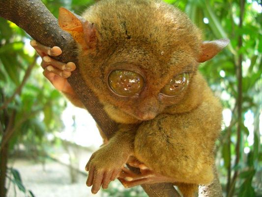 Mr. Tarsier from Bohol