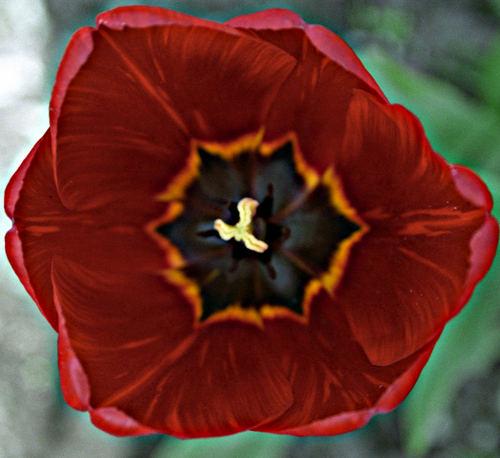 mr. tulip